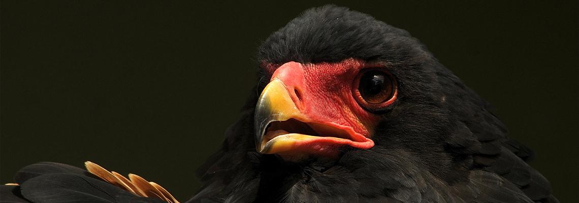 1140x400_bateleur_eagle