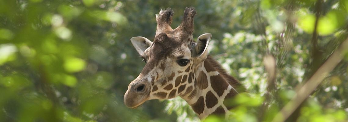 1140x400_giraffe