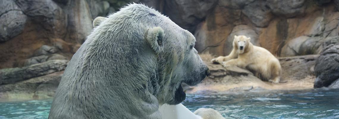 1140x400_polar_bear_01