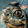 small_box_turtle