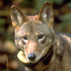 small_red_wolf