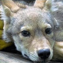 Red Wolf Howl-i-Day Adoption