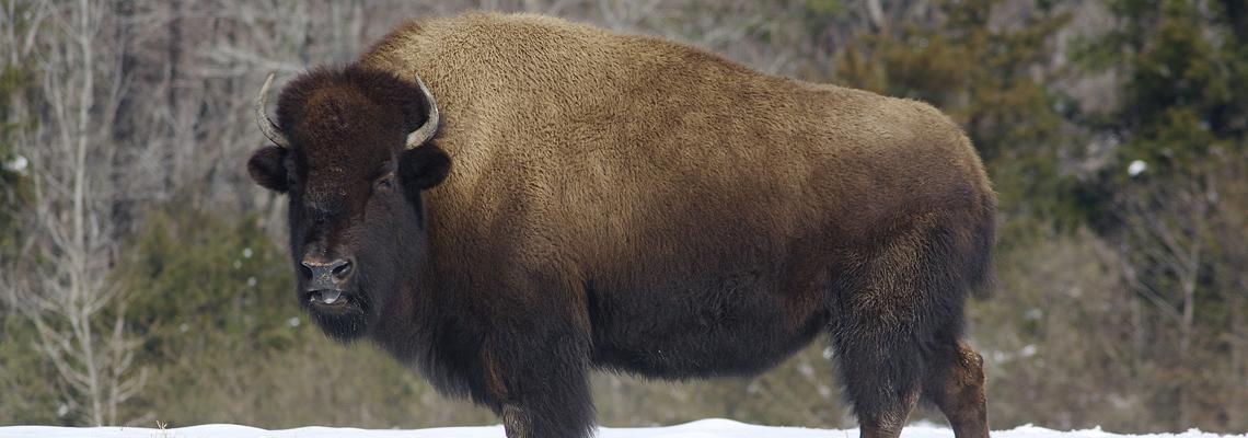 1140x400_bison