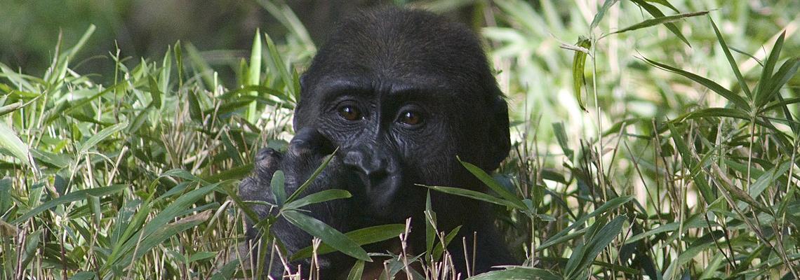 1140x400_gorilla