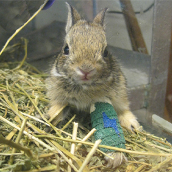 New! Wildlife Rehab Adoption Bunny